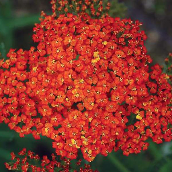 Тысячелистник обыкновенный «Peggy Sue» - Achillea millefolium «Peggy Sue»