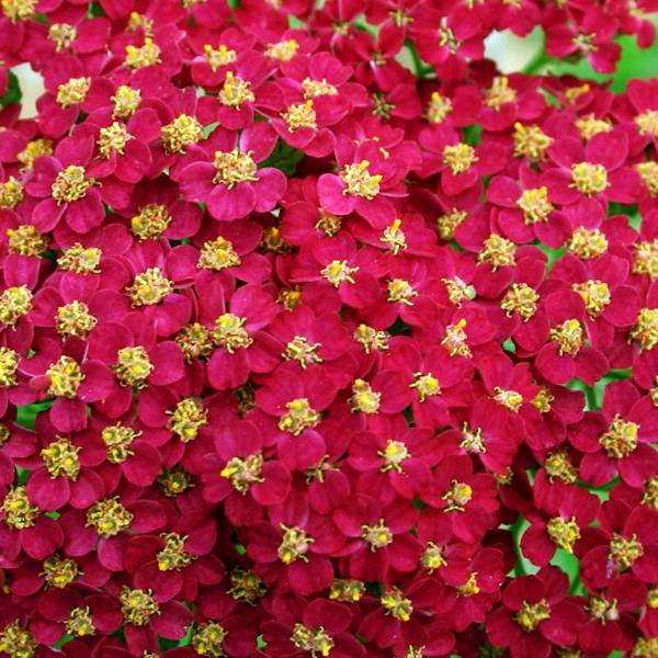 Тысячелистник обыкновенный «Red Velvet» - Achillea millefolium «Red Velvet»