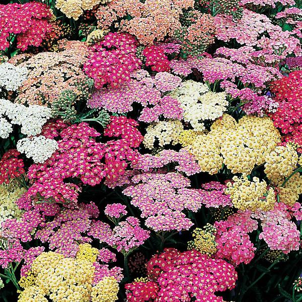Тысячелистник обыкновенный «Summer Pastels» - Achillea millefolium «Summer Pastels»