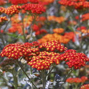 Тысячелистник обыкновенный «Walther Funcke» - Achillea millefolium «Walther Funcke»