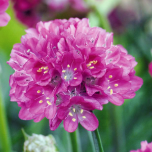 Армерия приморская «Morning Star Deep Rose» - Armeria maritima «Morning Star Deep Rose»