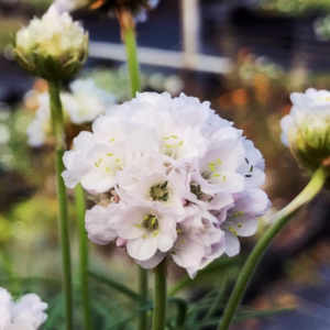 Армерия приморская «Morning Star White» - Armeria maritima «Morning Star White»