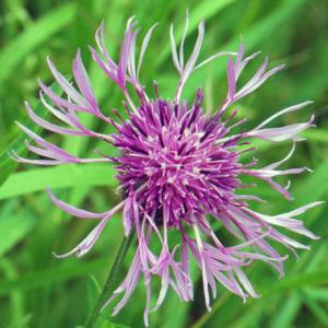 Василек шероховатый - Centaurea scabiosa