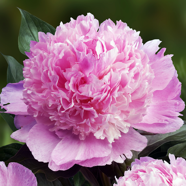 Пион молочноцветковый «Angel Cheeks» - Paeonia lactiflora «Angel Cheeks»