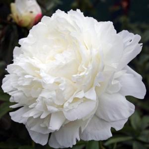 Пион молочноцветковый «Ann Cousins» - Paeonia lactiflora «Ann Cousins»