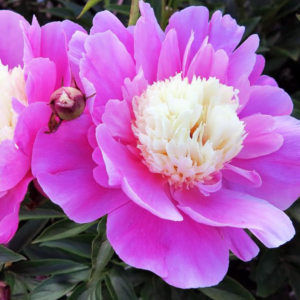 Пион молочноцветковый «Beautiful Senorita» - Paeonia lactiflora «Beautiful Senorita»