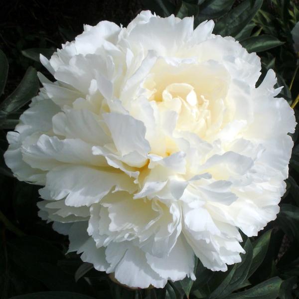 Пион молочноцветковый «Bowl of Cream» - Paeonia lactiflora «Bowl of Cream»