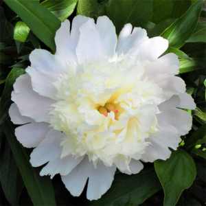 Пион молочноцветковый «Charlie's White» - Paeonia lactiflora «Charlie's White»