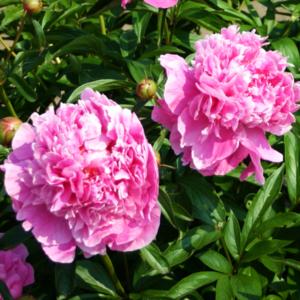 Пион молочноцветковый «Dr. Alexander Fleming» - Paeonia lactiflora «Dr. Alexander Fleming»