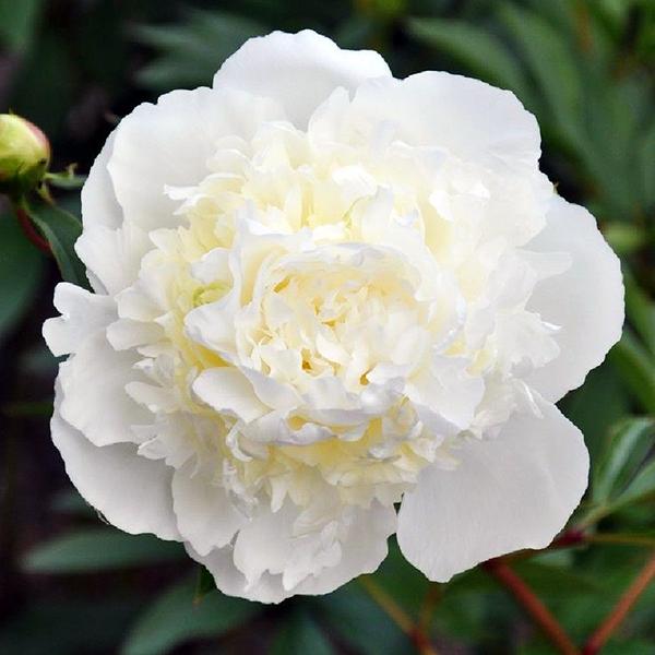 Пион молочноцветковый «Duchesse De Nemours» - Paeonia lactiflora «Duchesse De Nemours»