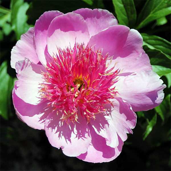 Пион молочноцветковый «Fancy Nancy» - Paeonia lactiflora «Fancy Nancy»