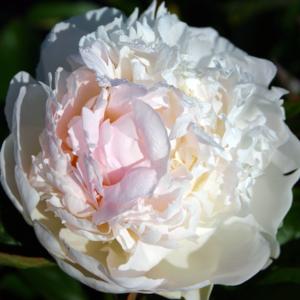 Пион молочноцветковый «Florence Nicholls» - Paeonia lactiflora «Florence Nicholls»
