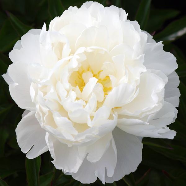 Пион молочноцветковый «Gardenia» - Paeonia lactiflora «Gardenia»