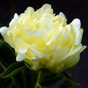 Пион молочноцветковый «Goldmine» - Paeonia lactiflora «Goldmine»