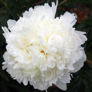 Пион молочноцветковый «Henry Sass» - Paeonia lactiflora «Henry Sass»