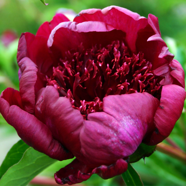 Пион молочноцветковый «Hot Chocolate» - Paeonia lactiflora «Hot Chocolate»