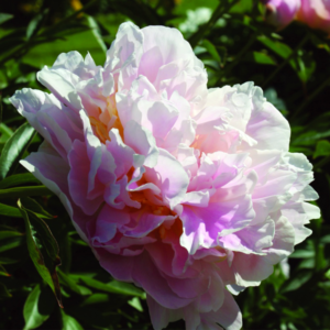 Пион молочноцветковый «James Pillow» - Paeonia lactiflora «James Pillow»