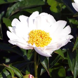 Пион молочноцветковый «Krinkled White» - Paeonia lactiflora «Krinkled White»