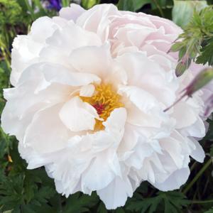 Пион молочноцветковый «Le Cygne» - Paeonia lactiflora «Le Cygne»