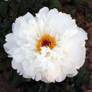 Пион молочноцветковый «Loise Kelsey» - Paeonia lactiflora «Loise Kelsey»
