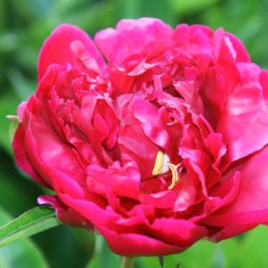 Пион молочноцветковый «Lora Dexheimer» - Paeonia lactiflora «Lora Dexheimer»