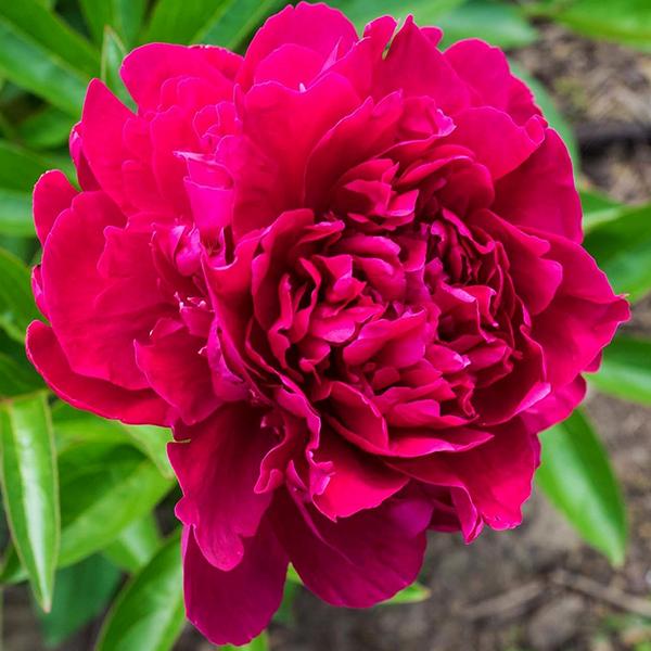 Пион молочноцветковый «Louis van Houtte» - Paeonia lactiflora «Louis van Houtte»