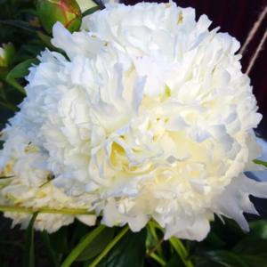 Пион молочноцветковый «Luxor» - Paeonia lactiflora «Luxor»