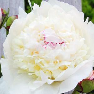 Пион молочноцветковый «Madame de Verneville» - Paeonia lactiflora «Madame de Verneville»