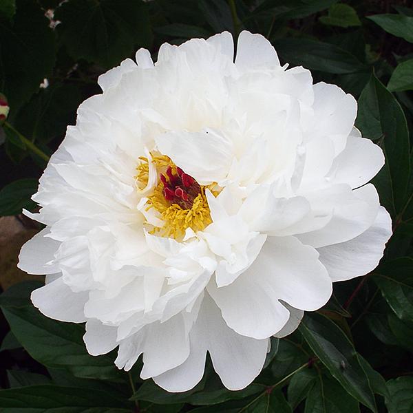 Пион молочноцветковый «Minnie Shaylor» - Paeonia lactiflora «Minnie Shaylor»