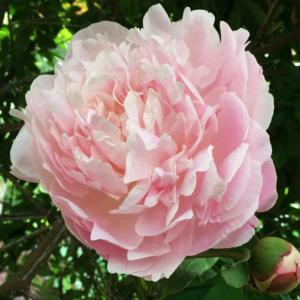Пион молочноцветковый «Mirtle Gentry» - Paeonia lactiflora «Mirtle Gentry»