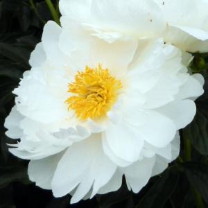 Пион молочноцветковый «Miss America» - Paeonia lactiflora «Miss America»