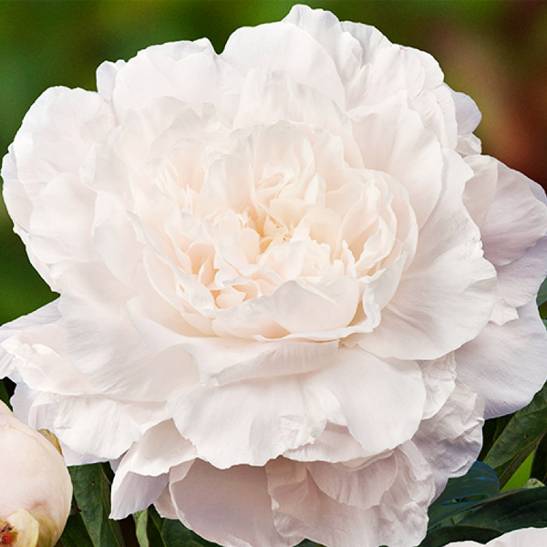 Пион молочноцветковый «Mother's Choice» - Paeonia lactiflora «Mother's Choice»