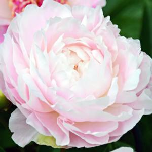 Пион молочноцветковый «Mrs.F.D.Roosevelt» - Paeonia lactiflora «Mrs.F.D.Roosevelt»