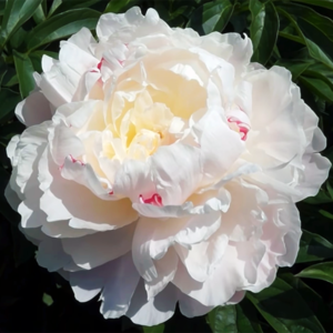 Пион молочноцветковый «Norma Voltz» - Paeonia lactiflora «Norma Voltz»