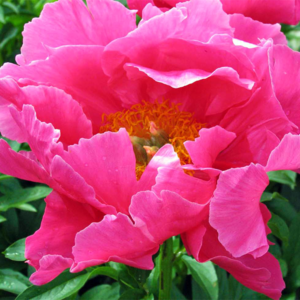 Пион молочноцветковый «Paula Fay» - Paeonia lactiflora «Paula Fay»