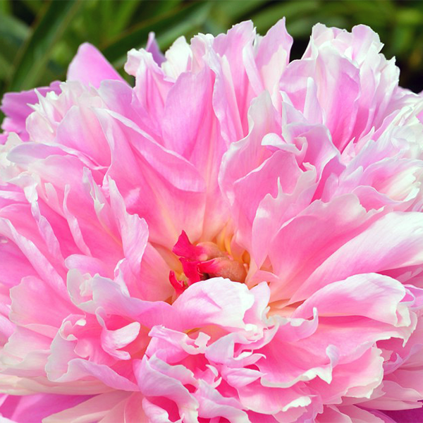 Пион молочноцветковый «Pink Cameo» - Paeonia lactiflora «Pink Cameo»