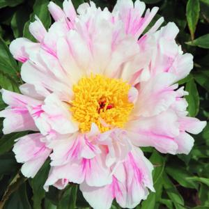 Пион молочноцветковый «Pink Luau» - Paeonia lactiflora «Pink Luau»