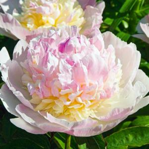 Пион молочноцветковый «Raspberry Sundae» - Paeonia lactiflora «Raspberry Sundae»