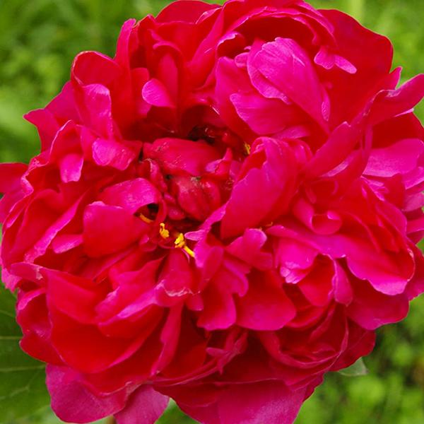 Пион молочноцветковый «Red Sarah Bernhardt» - Paeonia lactiflora «Red Sarah Bernhardt»