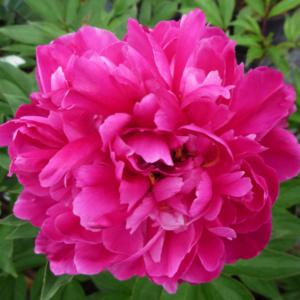 Пион молочноцветковый «Rosenfield» - Paeonia lactiflora «Rosenfield»