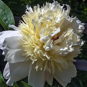 Пион молочноцветковый «Snow Mountain» - Paeonia lactiflora «Snow Mountain»