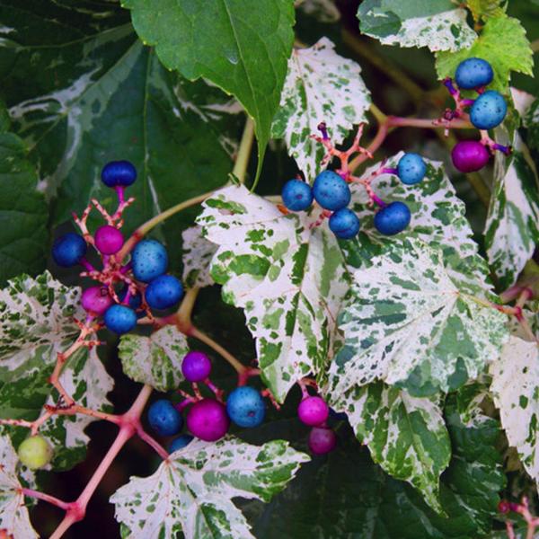 Виноградовник железистый «Elegans» - Ampelopsis glandulosa «Elegans»