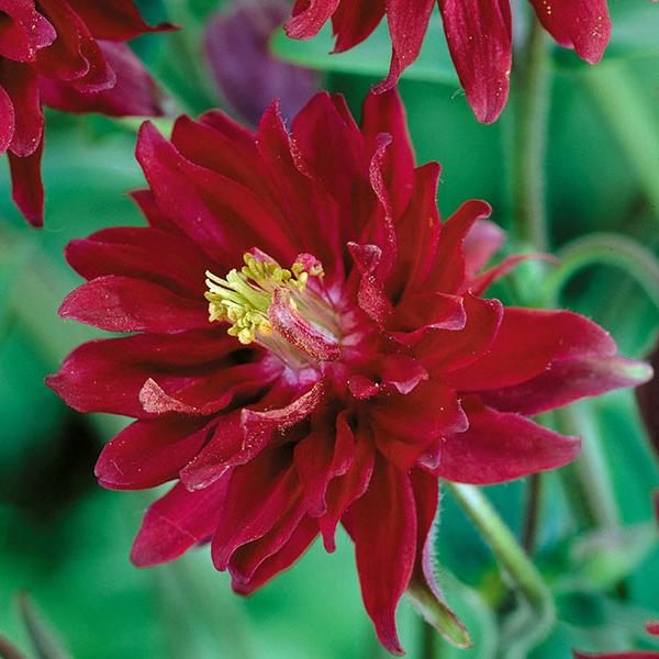 Аквилегия обыкновенная «Red Barlow» - Aquilegia vulgaris «Red Barlow»