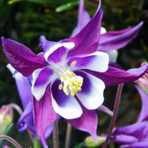 Аквилегия гибридная «Jewel Deep Purple» - Aquilegia x hybrida «Jewel Deep Purple»