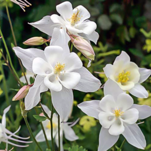 Аквилегия гибридная «Jewel White» - Aquilegia x hybrida «Jewel White»