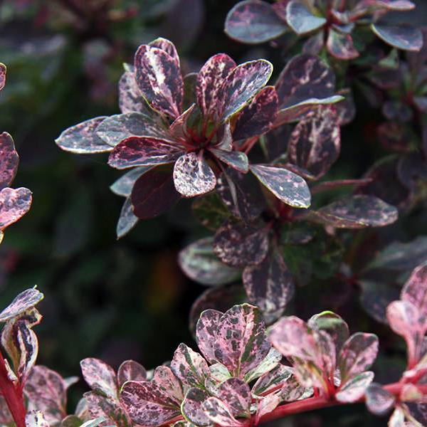 Барбарис Тунберга «Rose Glow» - Berberis thunbergii «Rose Glow»