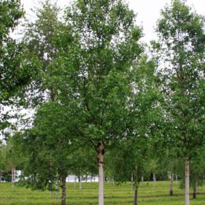 Береза белая китайская - Betula albosinensis