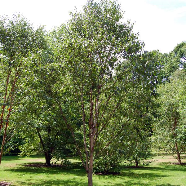 Береза белая китайская «Fascination» - Betula albosinensis «Fascination»