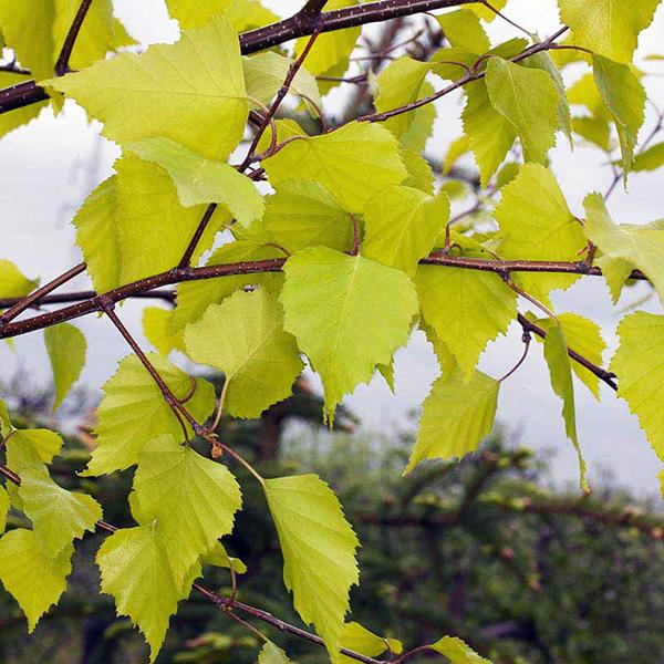 Береза повислая «Schneverdinger Goldbirke» - Betula pendula «Schneverdinger Goldbirke»