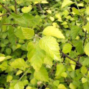 Береза пушистая «Aurea» - Betula pubescens «Aurea»